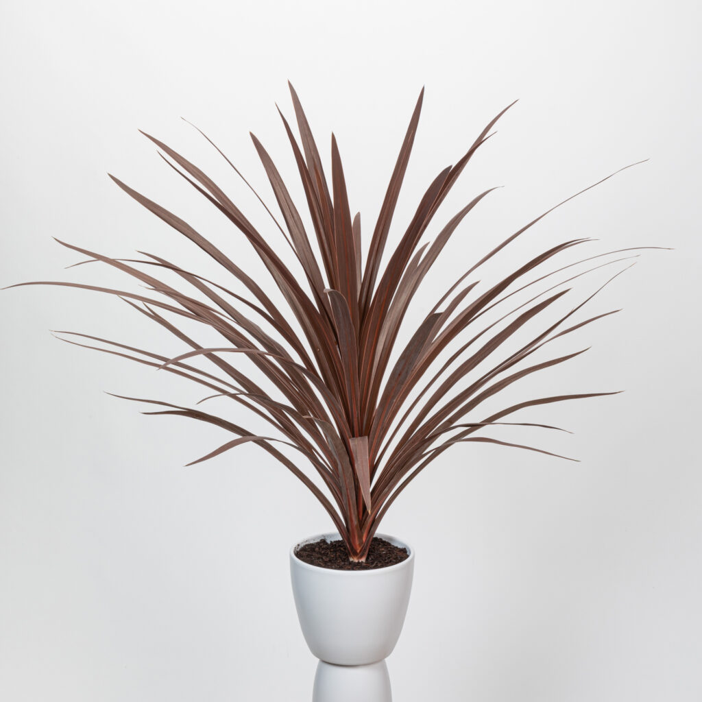 Cordyline Redstar Adult Plant
