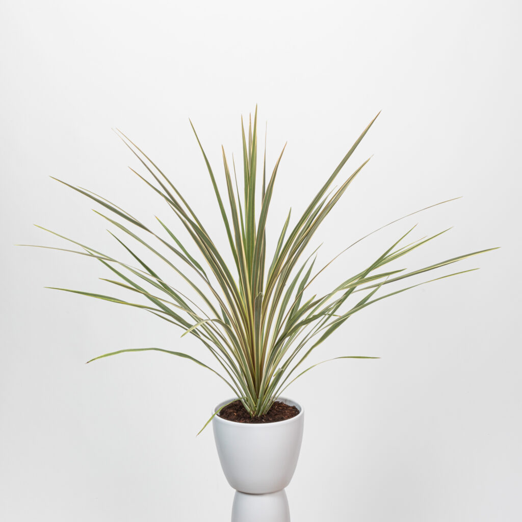 Cordyline Variegated Adult Plant