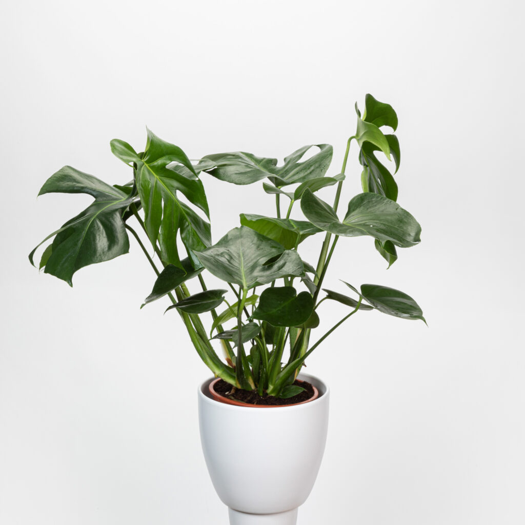 Monstera Mature Plant
