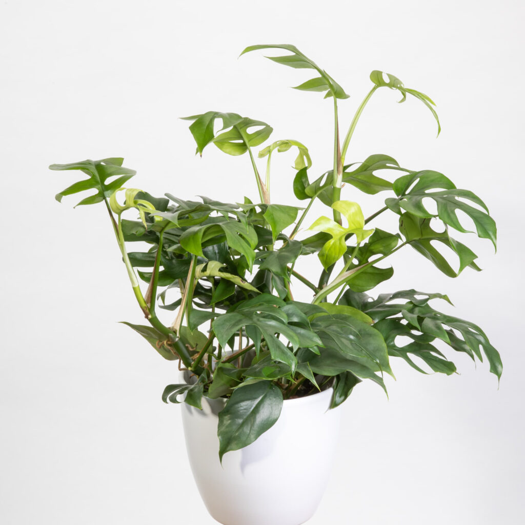 Philodendron Trophy - Adult